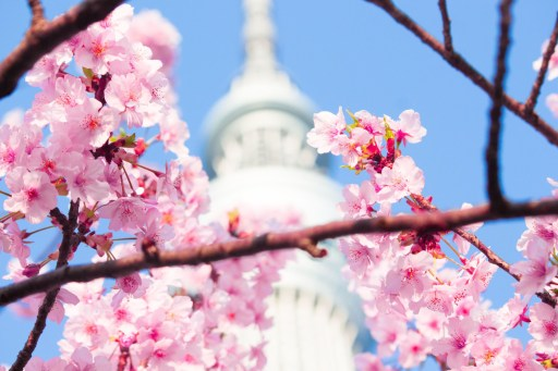 Япония, сакура на фоне Sky Tree
