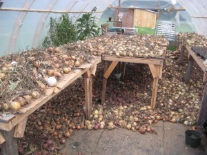 Photo of many many onions in the Many Hands CSA greenhouse