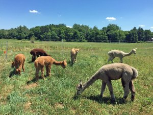 Photo of alpacas grazing in a field