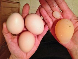 Photo of two hands holding variously sized chicken eggs