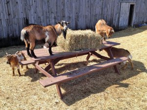 Photo of goats eating a bale of hay on top of a picnic table