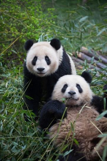 Giant Panda Research Base6