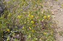 Creosote flowers and puff balls