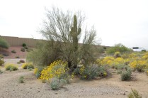 Palo verde tree acting as a nurse plant for a saguaro cactus