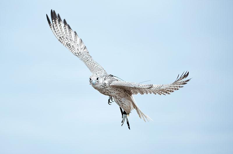 hawk flying am hawk