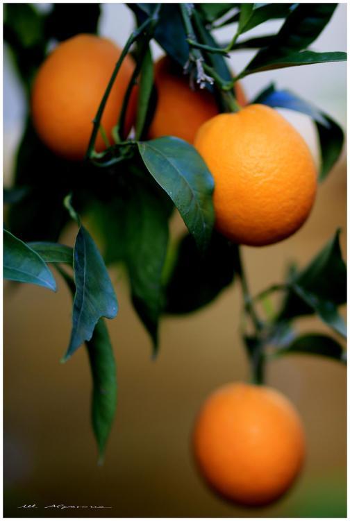 Typical citrus grove
