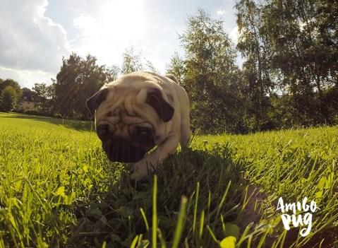 verão para seu Pug