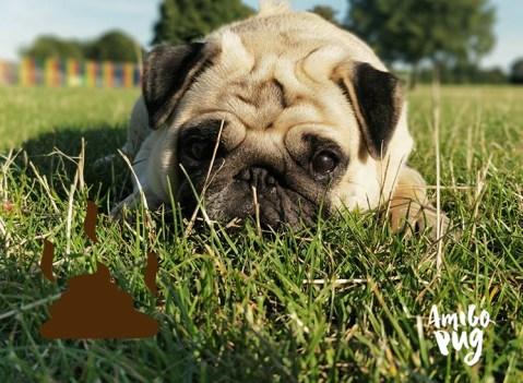 cropofagia - pug come cocô