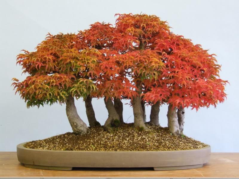 El bonsái en otoño