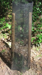 Protección individual de tejo (Taxus baccata) en Campo de Yuso.