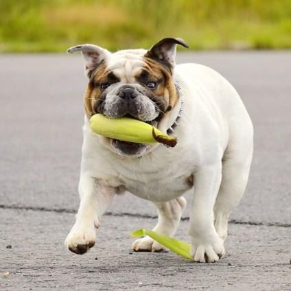Bulldog Inglès