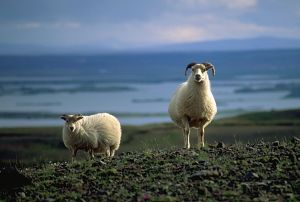 Icelandic sheep create unique lopi yarn