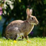 Amika, Krafttier Kaninchen