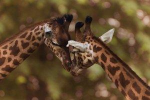 Amika, Krafttier Giraffe