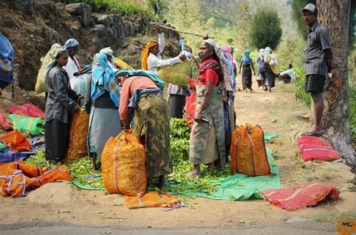 Women hand pick tea leaves
