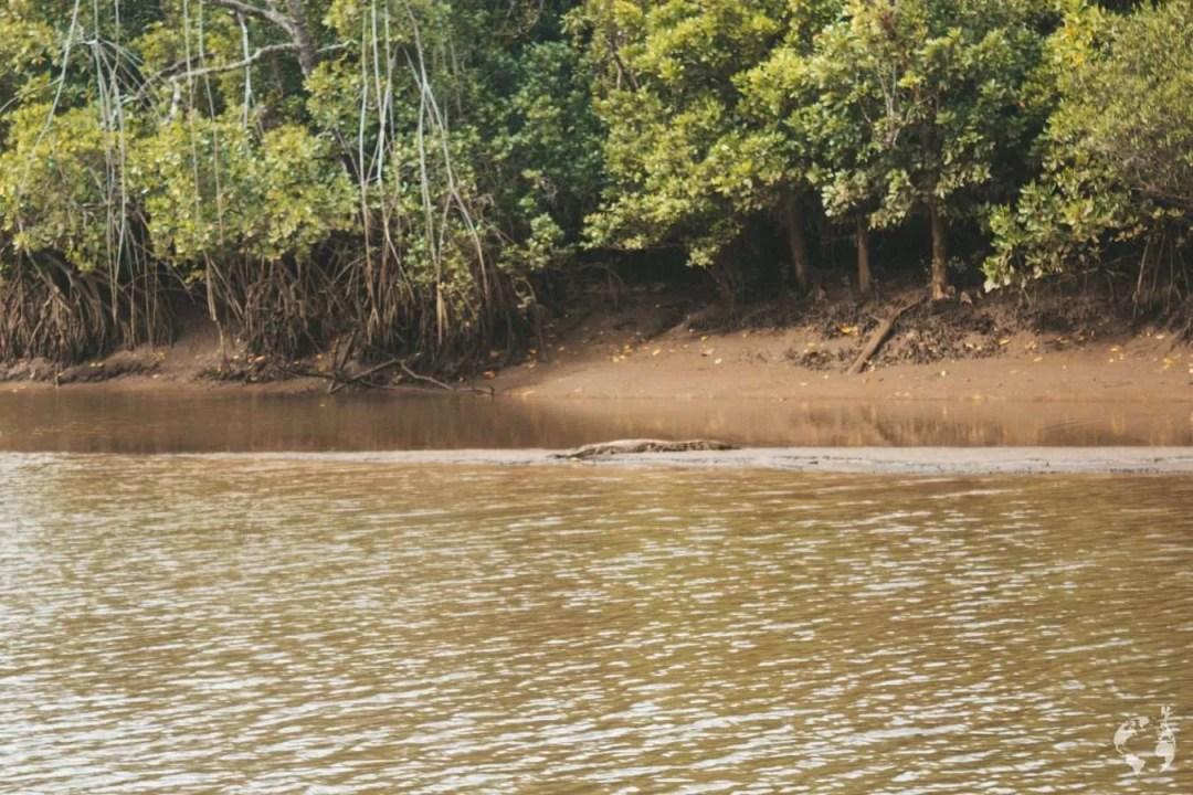 Where to see crocodile Daintree Cairns