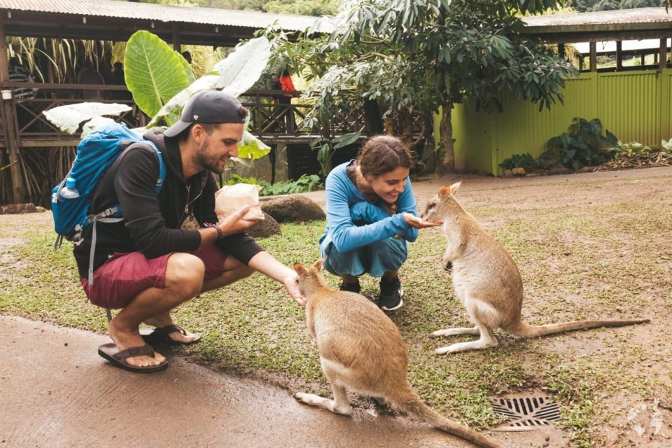 Where to see kangaroos cairns