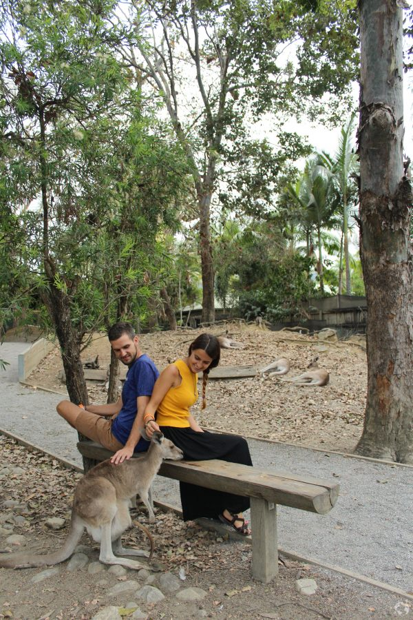 wild kangaroos queensland cairns