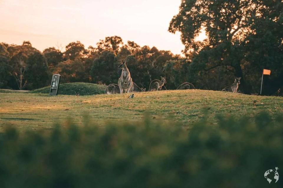 Golf Court kangaroos