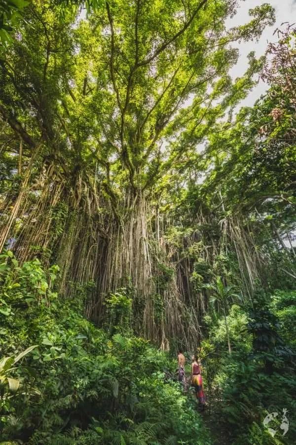 banyan tree tanna tom vierus