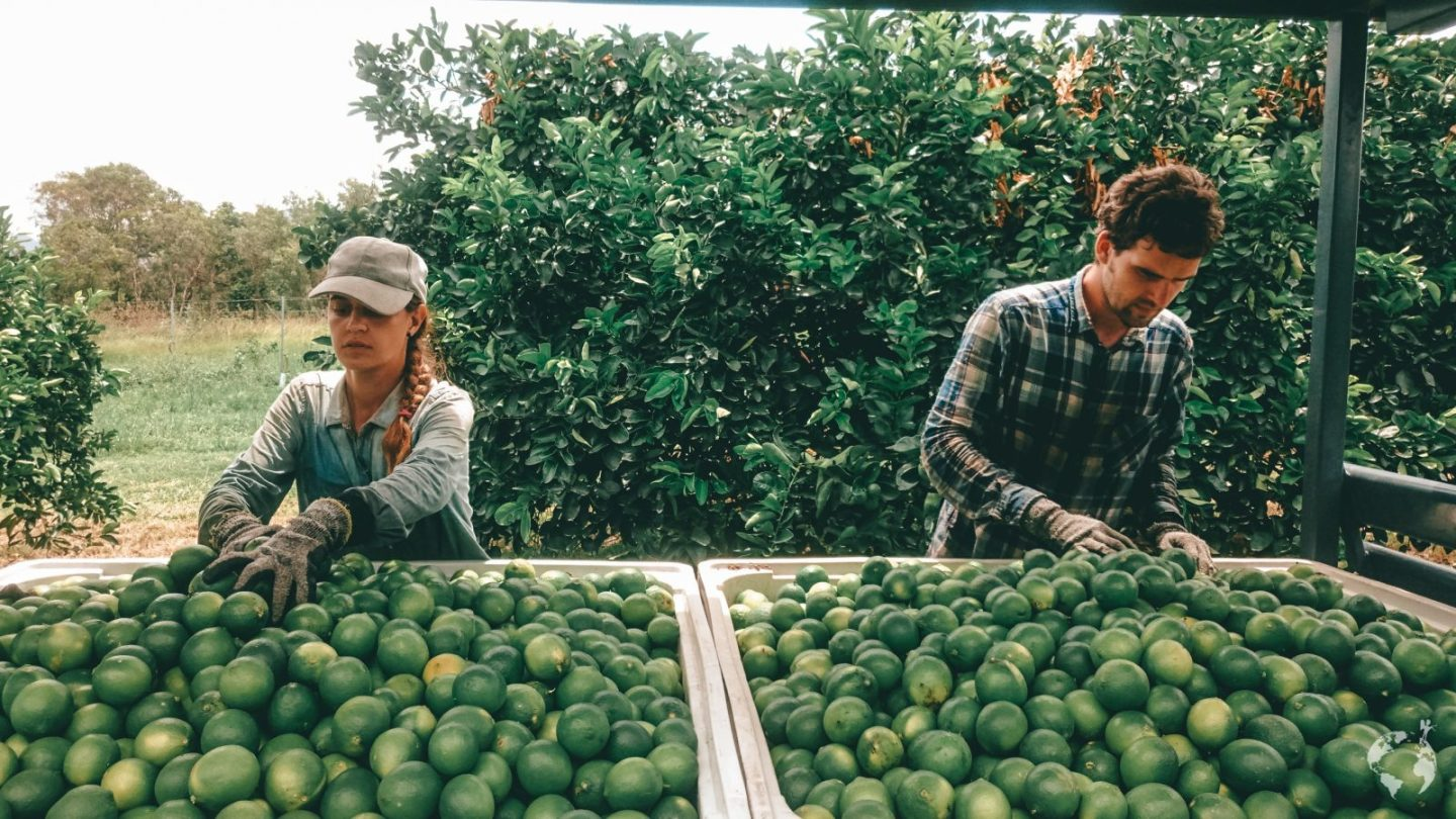 Farm job picking limes queensland