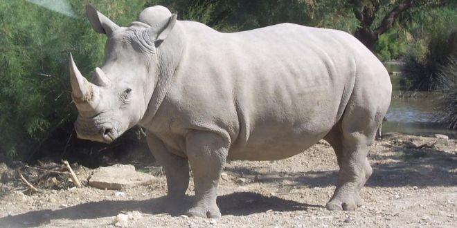 Un rhinocéros
