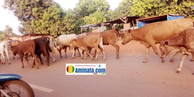 Un troupeau des boeufs en train de divaguer dans la ville de Siguiri