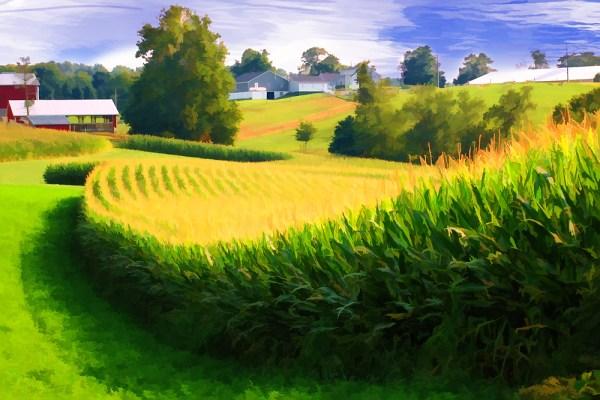 corn fields - landscape & rural