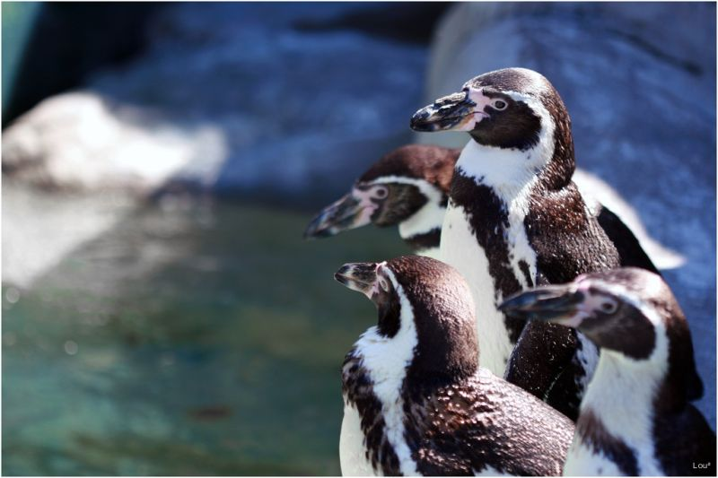 Penguins at the Colombus Zoo