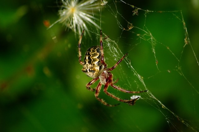 Image result for net maker spider