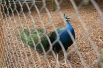 Peacock. Loud.