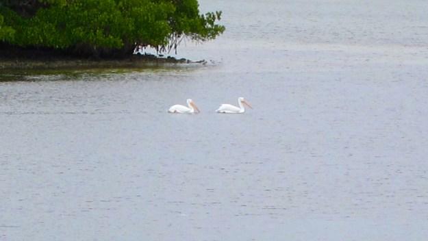 White Pelicans arrive for Christmas in Bimini Bay