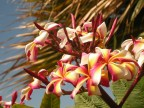 Plumeria - one of my favorite flowers and smells