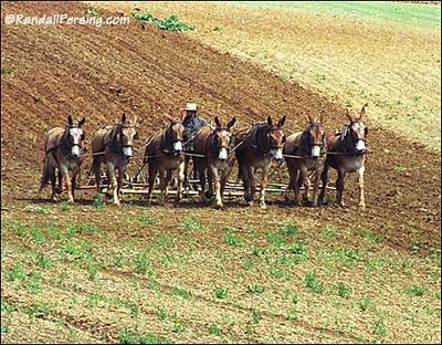 Amish_mules_plow