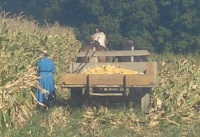 amish women field work