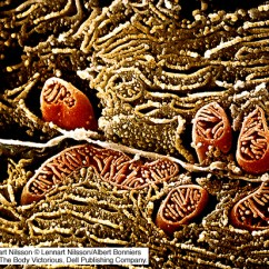 Simple Mitochondria Diagram Massey Ferguson 135 Wiring The Living Cell Gallery | Amit Kessel Ph.d