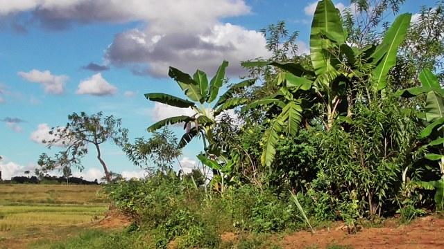 Bananiers de Théogène à Kélilalina
