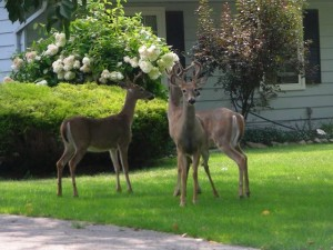 Pasadena MD Landscaping - Deer Resistant plants