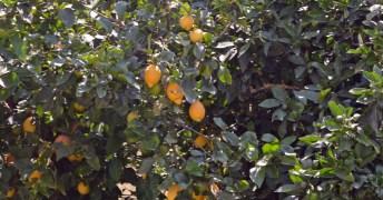 Zitronen von Soller nach Port de Soller