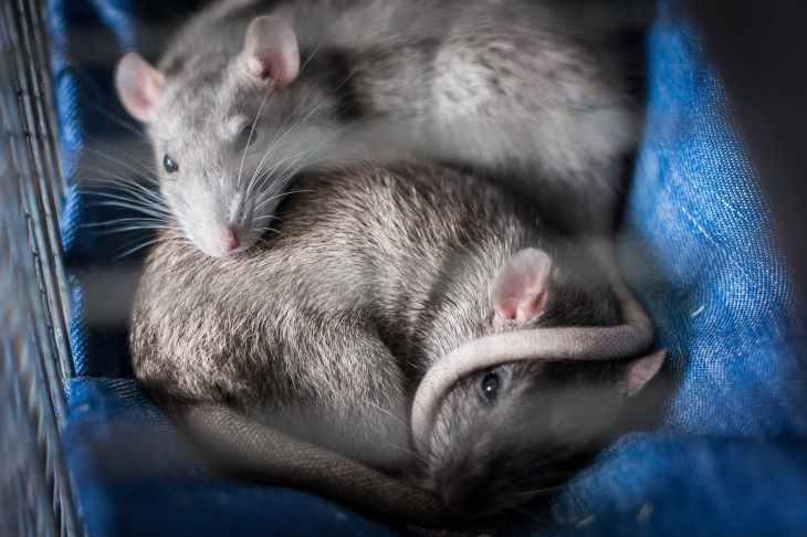 two gray mice