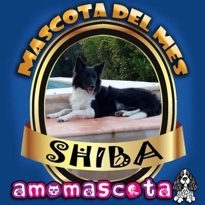 MASCOTA-DEL-MES-SHIBA