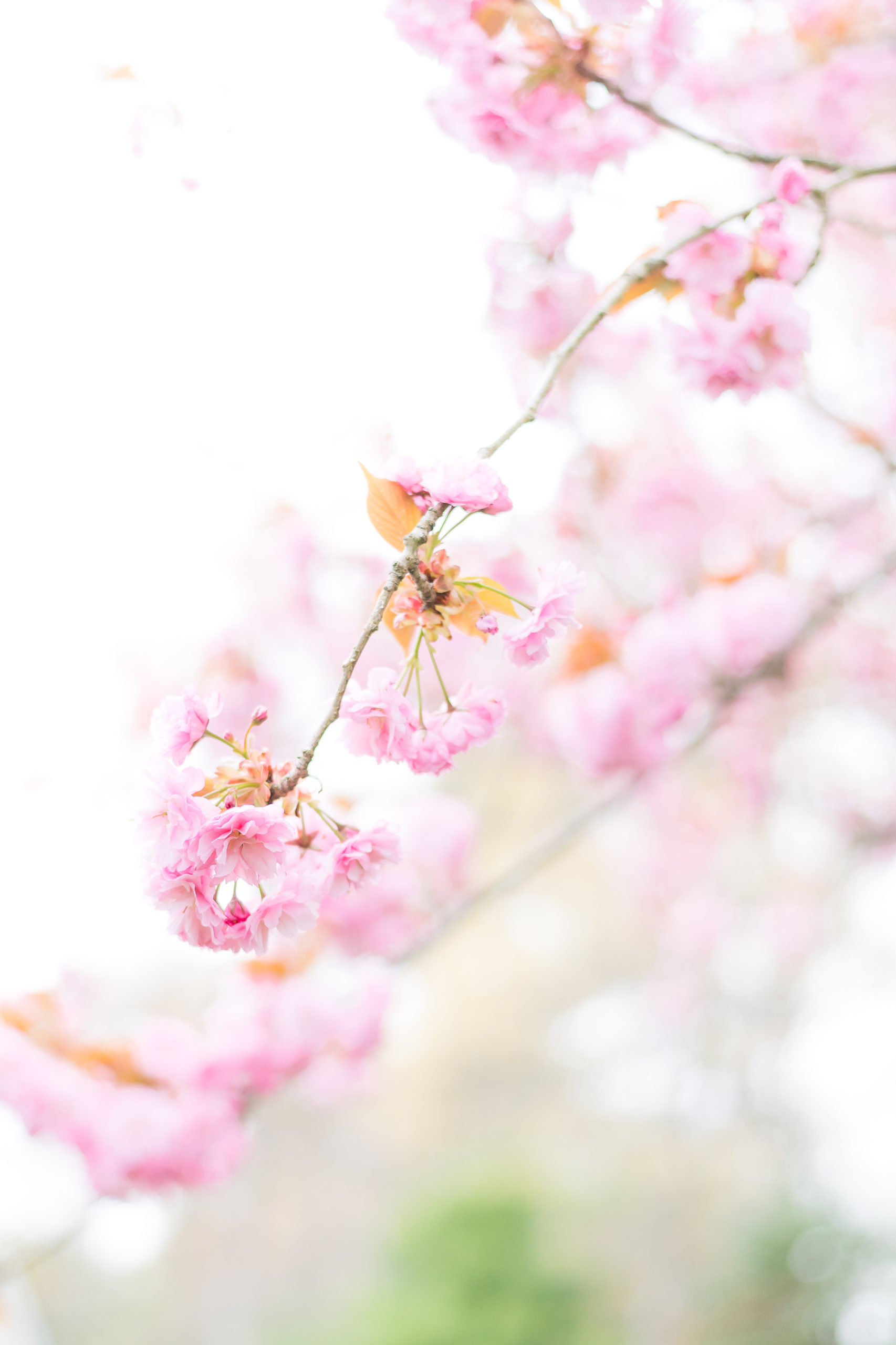 up close shot of a beautiful pink bloom from a cherry tree during a mother's day photoshoot