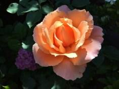 flowerblooms