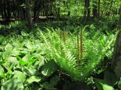 Skunk cabbage and cinnamon fern in Hartstown Swamp of western PA.