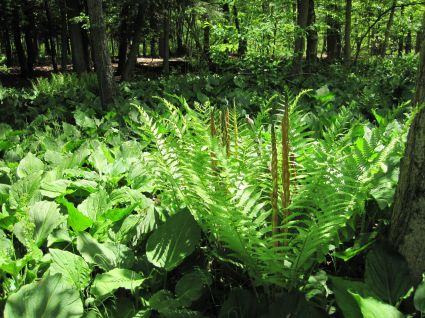 Skunk cabbage and cinnamon fern in Hartstown Swamp of western PA.