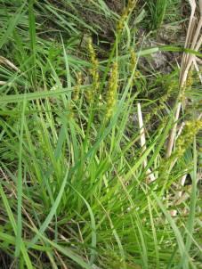Carex sp. (sedge)