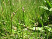 Eleocharis palustris (spikerush)