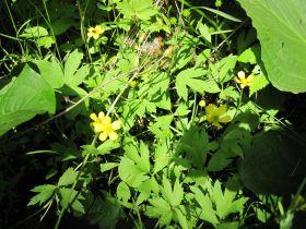 Ranunculus septentrionalis (swamp buttercup)