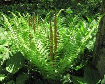 Osmunda cinnomomea (cinnamon fern)