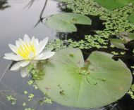 Nymphaea odorata (white water lily)